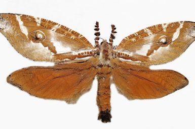 Zelotypia stacyi